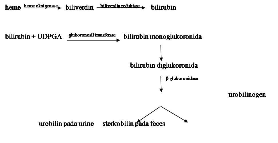 pembentukkan%20urobilin Aspek Biokimia Ikterus STIKes